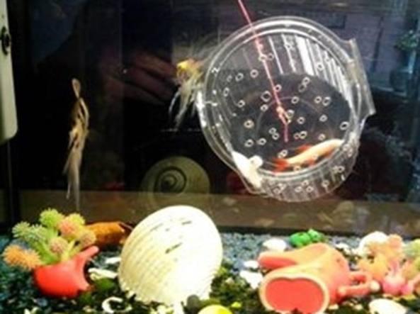Il pesce rosso «ingabbiato»