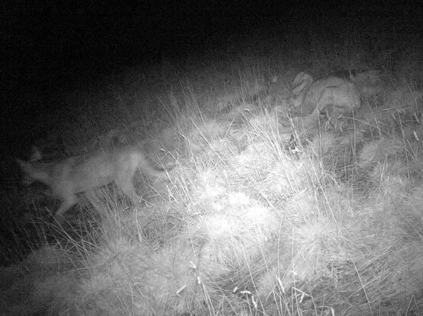 A destra, il lupo e a sinistra una delle pecore che aveva ucciso la notte prima