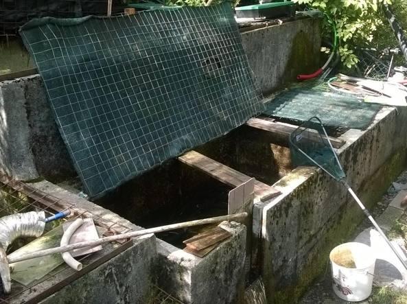 Strage di trote a carona danno ecologico for Vasche per allevamento trote